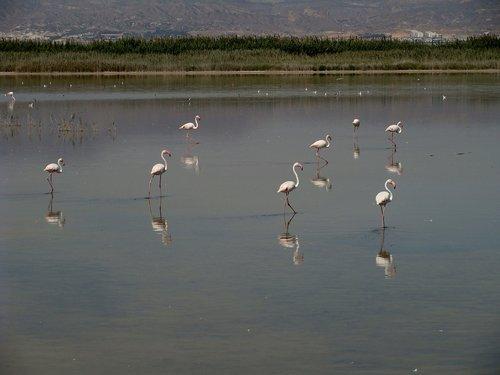 Flamingo, Gyvūnijos, paukštis, Iberijos pietryčius