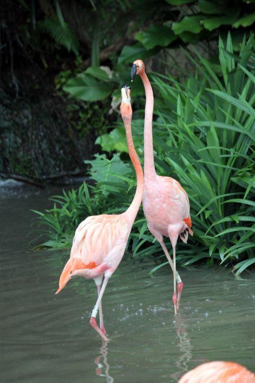 flamingo, vaikščioti, kartu, flamingo eina kartu