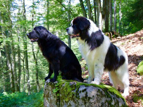 plokščias padengtas retriveris,landseer,šuo,gyvūnas,gamta