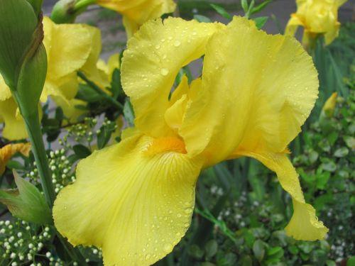 Fleur-De-Lis, Pavasaris, Geltona