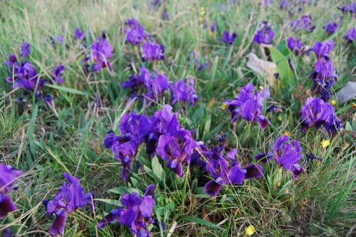 Fleur-De-Lis, Gėlė, Pavasaris