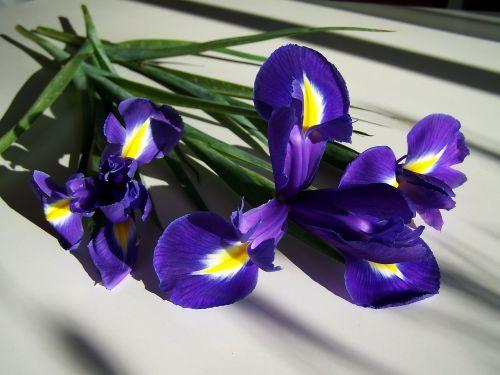 Fleur-De-Lis, Mėlynas, Pavasario Gėlė