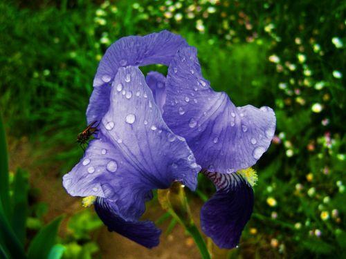 Fleur-De-Lis, Lietaus Lašai, Mėlyna-Violetinė Gėlių Pavasaris