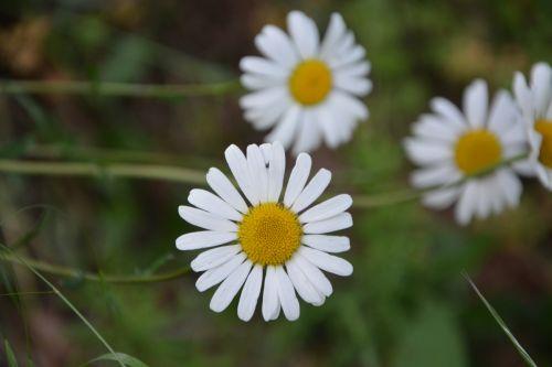 gėlė, Daisy, graži, žiedlapis, balta & nbsp, geltona, gėlė, Daisy, graži, žiedlapiai