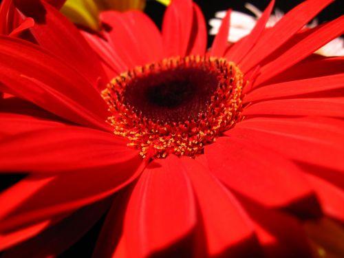 Gerbera, Gerbera, vasara, pavasaris, gamta, sodas, kaimas, makro, apdaila, gražus, kraštovaizdis, ryški raudona gėlė, gerbera