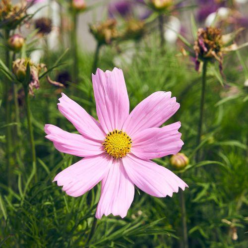 Gėlė,  Kosmosas,  Flora,  Žydėjimas,  Botanika,  Žiedlapiai,  Vasara,  Sodas,  Gamta,  Grožis,  Sodininkystė,  Gėlių Įvairovė Kosmosas
