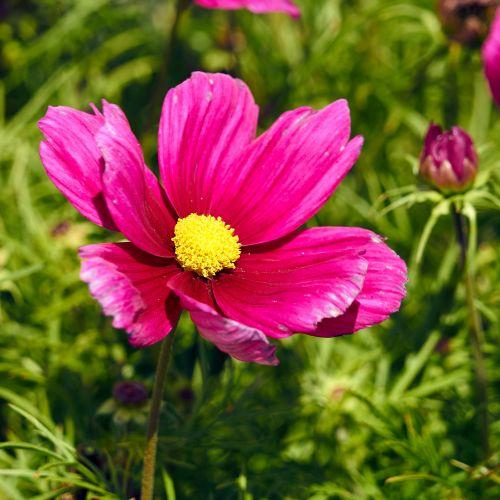 Gėlė,  Kosmosas,  Botanika,  Augalas,  Žiedlapiai,  Gamta,  Pavasaris,  Flora,  Žydėjimas,  Gėlių Įvairovė Kosmosas