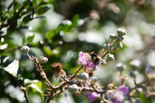 gėlės, kamanė, vabzdys, flora, botanika, laukinė gamta, maitinimas, žiedadulkės, vasara, sezonai, gėlės ir kamanės