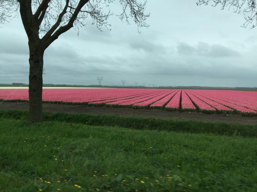 Flevolandas,lelystad,drontenas,Nyderlandai,spalvinga,spalva,tulpių laukas,tulpių laukai,spalvos,spalvos,fonas,gražus,oras,debesys,kraštovaizdis,medis,dangus