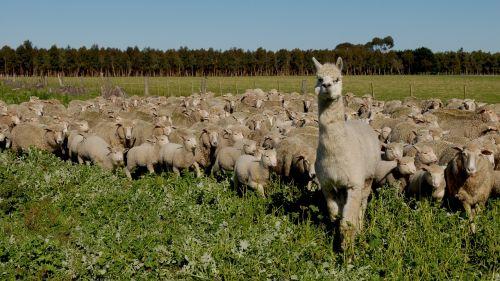 avių pulkas,avys,kraštovaizdis,gyvūnai