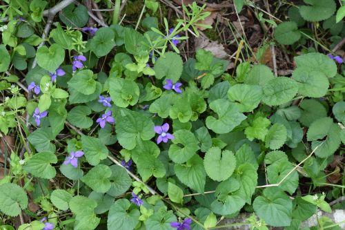 flora,gėlė,žiedas,žydėti,purpurinė gėlė,purpurinis žiedas,purpurinė žydėti,gamta,pavasaris,vasara,augalas,natūralus,lapai,žiedlapis,modelis,botanikos,sezonas,žalias,spalva,šviesus,spalvinga