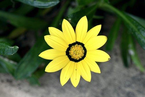floros, botanika, gėlė, geltona, žydėjimas
