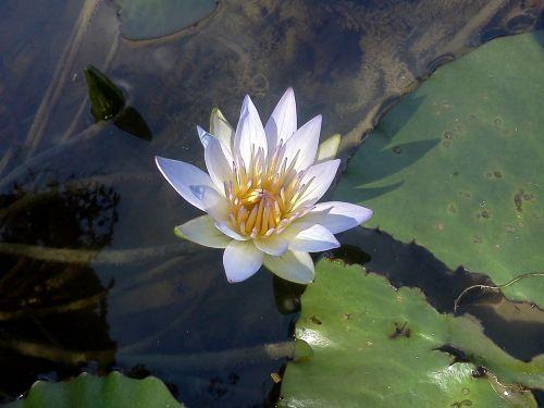 flora,vitoria regia,gėlė