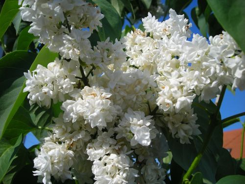 flora,gėlės,sodas