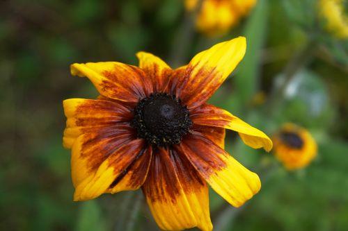 gėlė, flora, botanika, žydėjimas, geltona, žiedlapiai, gamta, vasaros flora