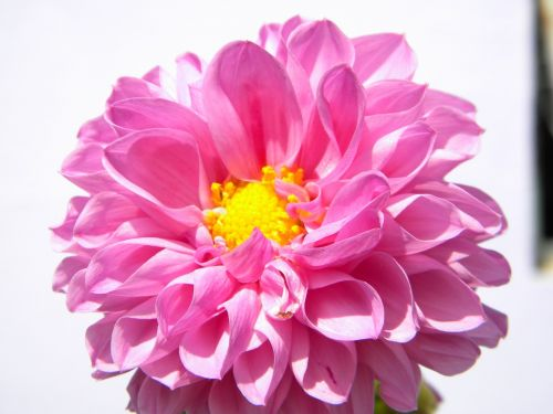 gėlė,rosa,saulėtas,gamta,detalės