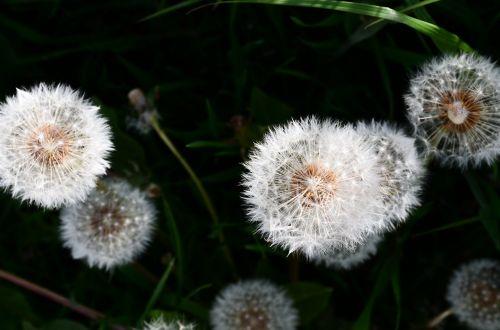 gėlė,šviesa,šešėlis,šviesa ir šešėlis,šešėlių žaidimas,augalas,lengvumas,filigranas,atgal šviesa