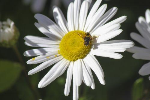 gėlė,bičių,vabzdys,gamta,medus,augalas,geltona,žiedadulkės,žiedas,medaus BITĖ,pieva,žydėti,balta,žiedlapis
