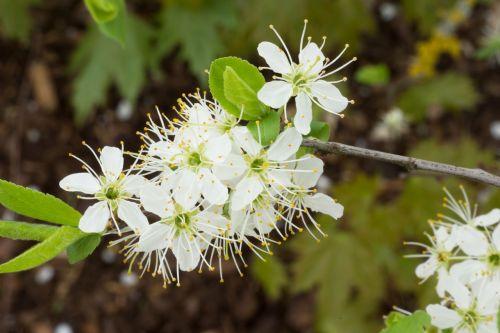 žiedas,žydėti,gėlė,žiedadulkės,bičių žiedadulkės,jaunas,frisch,weis,žalias