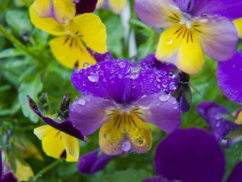 gėlė,Pansy,lašelinė,gamta