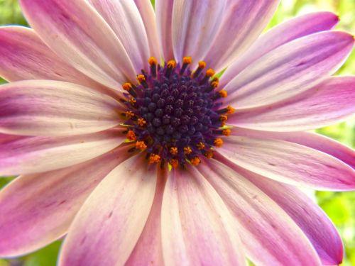 gėlė,žiedlapiai,čalis,išsamiai,Daisy