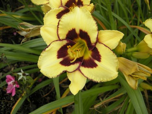 geltona,lelija,gėlė,gamta,manitoba