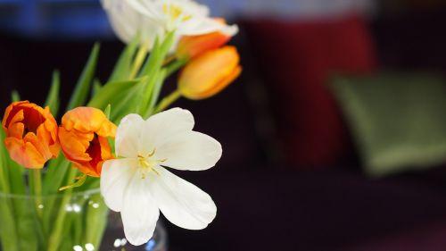 gėlė,tulpė,balta,oranžinė,Iš arti,gėlių,žydėti,gamta,spalva,žydi,spalvinga,Uždaryti,spalva