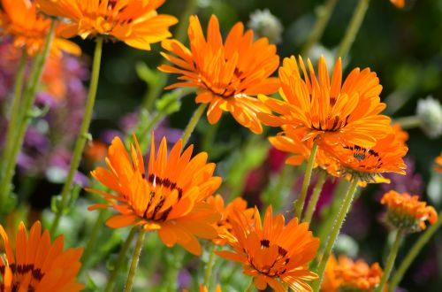 gėlė,gamta,žiedadulkės,vasaros gėlės,oranžinis žiedas,žiedlapiai,sodas,žalias,oranžinė,pavasaris,vasara,Marguerite oranžinė,marguerite,Daisy