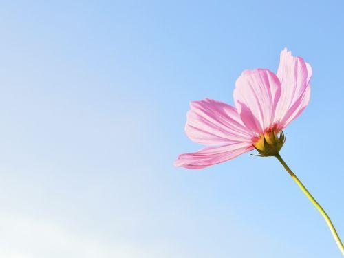 gėlė,gamta,augalas,gėlės,rožinis,kosmoso gėlės,visata,atviras,žiedadulkės,violetinė