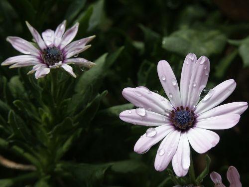 african Daisy,gėlė,violetinė,lietus,vanduo,makro,osteospermas