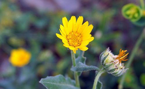 gėlė,geltona,mažas,pavasaris,žydėjimas,geltona gėlė,Suaugęs,sodas,gamta,gėlės,augalai,laukinės gėlės,gėlių laukas,laukinės žolelės,augalų laukiniai gyvūnai