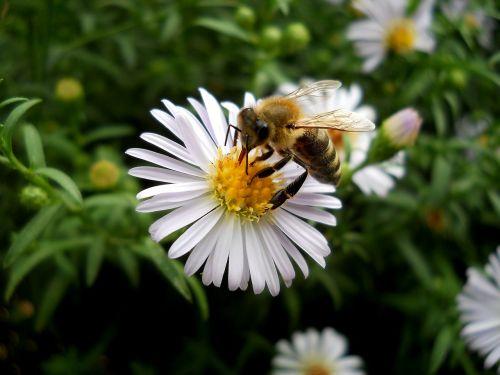 gėlė,gėlės,augalas,šviesa,gamta,reikmenys,žiedadulkės,balta,laukas,bičių,vasara,žiedlapiai,pavasaris,insekta,maistas,apdulkinimas