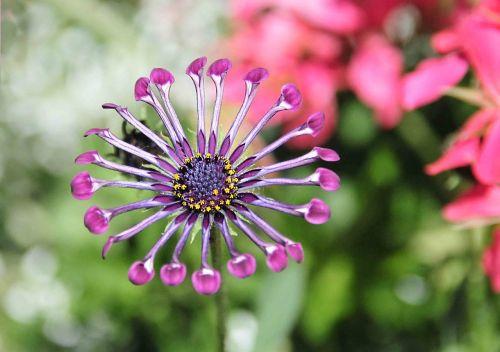 gėlė,osteospermas,alyvinė soprano šaukštelis,augalas,gamta,violetinė,makro