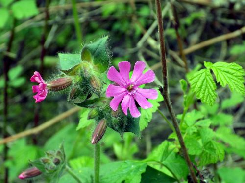 raudona kampanija,raudona laimikis,silene dioica,gėlė,purpurinė gėlė,žiedas,žydėti,gamta,laukinė gėlė,augalas,Uždaryti,vasara