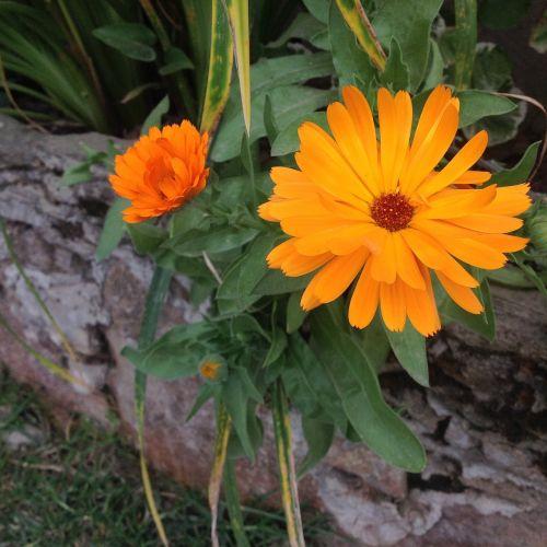 gėlė,augalas,gamta,gėlės,sodas,botanika