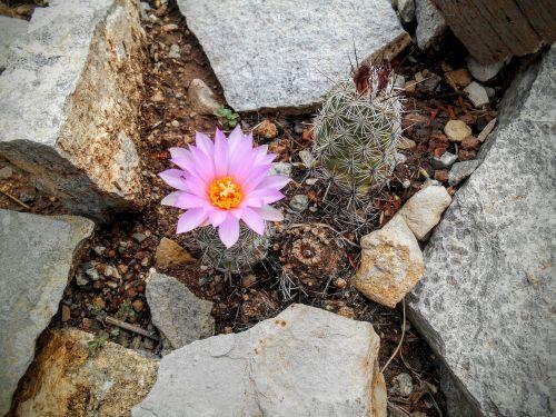 Gėlė, Dykuma, Kaktusas, Rožinis, Rokas, Atkaklumas, Flora, Chihuahuano Dykuma