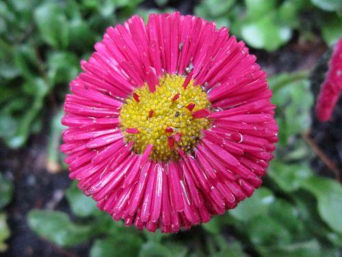 tausendschön,Daisy,raudona ramunė,gėlė,raudona,žiedas,žydėti,gamta,sodas,raudona gėlė,pavasaris,lietus,šlapias,šaltas