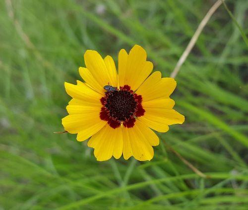 gėlė,geltona gėlė,tikėtis,plains tickseed,calliopsis,sodas,auksinė erškėtis,žiedlapiai,wildflower,gėlių,panaikinti,Iš arti,flora,botanika,botanikos,gamta,coreopsis tinctoria