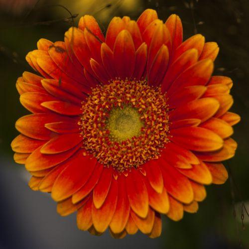 gėlė,gėlės,vasaros gėlės,graži gėlė,gamta,sodo gėlės,žydėti,augalas,vasara,Iš arti,sodo gėlė,oranžinė gėlė,pavasaris