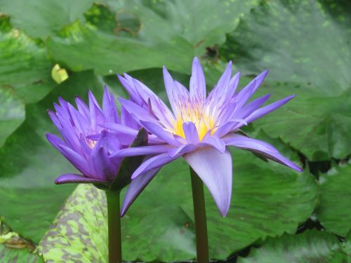 gėlė,žydėti,žiedas,botanika,augalas,sodas,botanikos,violetinė,sodininkystė,natūralus,gamta,gėlių,sodininkystė,botanikos,sodininkas