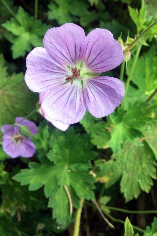 gėlė,geranium maculatum,geranium,senoji meistrų naktinis kapas,medžio geraniumas,laukinis girnas,dygsta gerija,daugiametis,žolinis,augalas,žiedas,violetinė,žydėti,natūralus,laukiniai,wildflower,gamta,botanika,botanikos,sodas,žiedlapis,žolė,flora