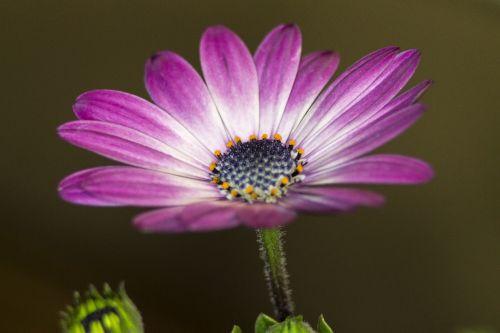 gėlė,violetinė,Daisy,african Daisy,augalas,gamta,gėlių,šviesus,sodas