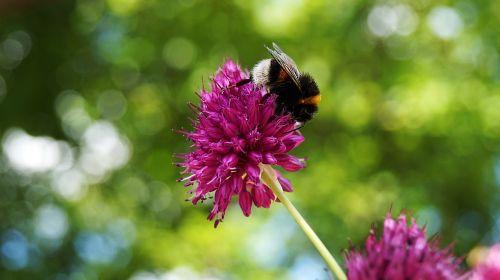 gėlė,gamta,Hummel,žydėti,žinoma,laukinė gėlė,pavasaris,graži gėlė,rožinė gėlė,augalas