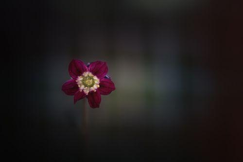 gėlė,žiedas,žydėti,raudona,raudonas vynas,mažas,švelnus,samanų saksifražas,pagalvėlė saksifrage,sodas,Sode,Uždaryti,twilight,vakaras,uolienų smulkinimo įrenginys,saxifragaceae,gėlės fotografija