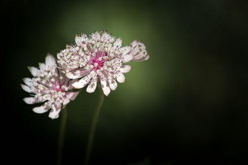puikus masterwort,umbelliferae,astrantija major,gėlė,miško gėlė,aštraus gėlė,gamta,augalas,vasara,balta,rožinis,baltos gėlės,balta gėlė,balta miško gėlė,miško augalas
