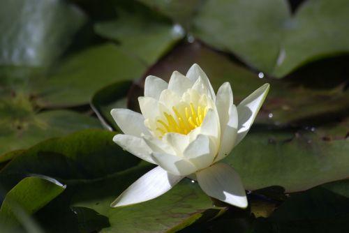 gėlė,vandens lelijos,vasara,sodas,balta,augalas,gamta,sodo augalas,gėlių vasara,parkas