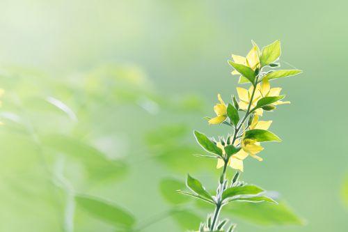 gėlė,fonas,švelnus,žiedas,žydėti,žydėti,augalas,gamta,aštraus gėlė,lauko gėlė,minkštas,trapi,laukinė gėlė,fono gėlė,romantiškas,geltona,atgal šviesa,pastelė,Uždaryti,flora,laukinis augalas,nuotaika,švelnus