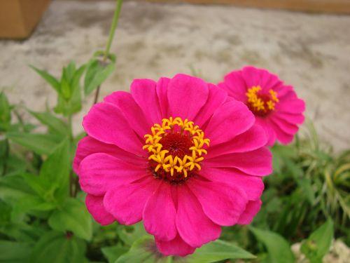 zinnia,gėlė,gėlės,gėlė,maža gėlė,orchidėja,kalnų flora,subtilus gėlė,sodas,rožinis