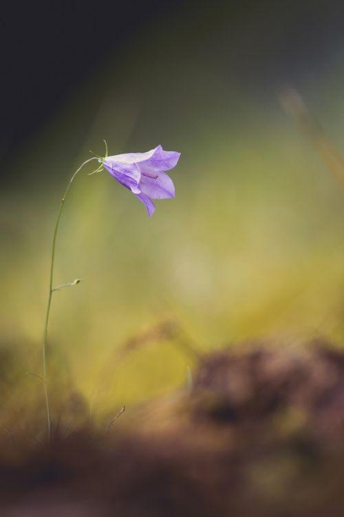 gėlė,gamta,varpelė,pavasaris,laukinė gėlė,Uždaryti,graži gėlė