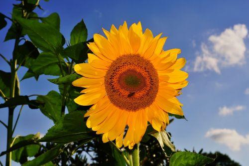 gėlė,žiedas,žydėti,saulės gėlė,geltona,gamta,augalas,Uždaryti,geltona gėlė,vasara,vasaros gėlė,filigranas,sodas,gražus,spalvinga